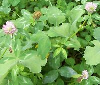 1 Lb Clover Seed Mix Perennial Deer Plot Seeds Equal Amount Of 4 Varieties