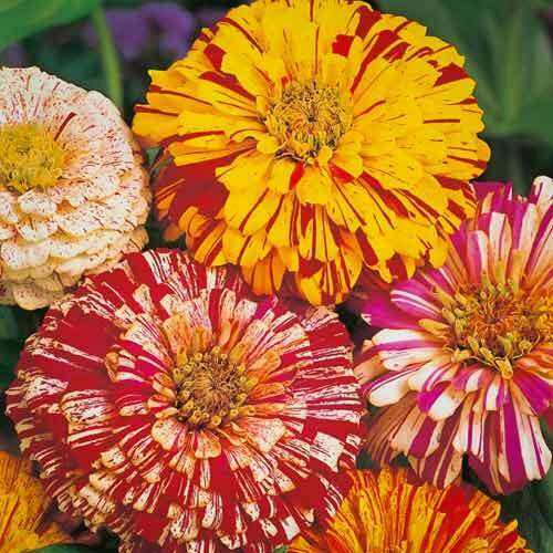 "a mixture from Russia bicolor Russian Zinnia /""Bon-Bon/"" Zinnia seeds"
