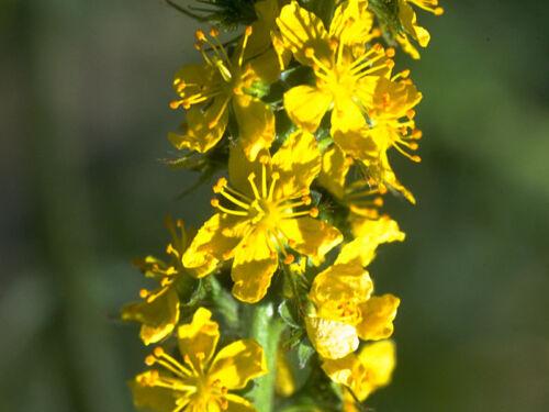 100 seeds-Wildflower Agrimony-Agrimonia Eupatoria