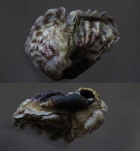 Seashells-Lopha-cristagalli-COCKSCOMB-OYSTER-48-mm-F-GEM-CLUSTER-sea-snails