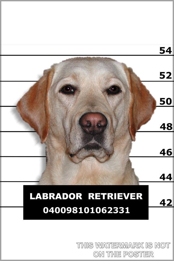 Affiche, Plusieurs Größes; de Labrador