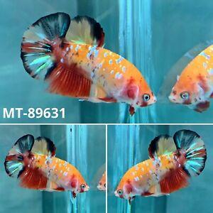 (MT-89631) Cutie Unique Yellow Nemo KOI Live Male Plakat HM Betta Fish Grade A+