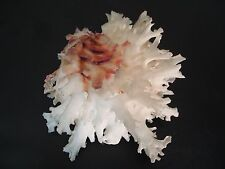 "Super Frilly...CHAMA LAZARUS~100mm~Thailand ""Jewel Box"" SEASHELL"