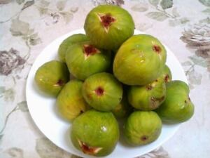 Kadota New Jersey Grown. 3x Fig Cuttings
