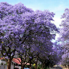 100Pcs Jacaranda Mimosifolia Royal Empress Flower Tree Seeds Garden Plant