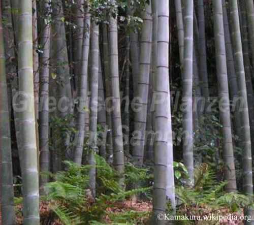 20°C winterhart 6 Samen Riesenbambus Bambus pubescens