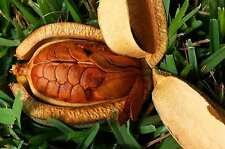 60 MEHOGINI SEEDS (FS-9765) -ROAD SIDE TREE -TIMBER SEEDS FOR FURNITURE