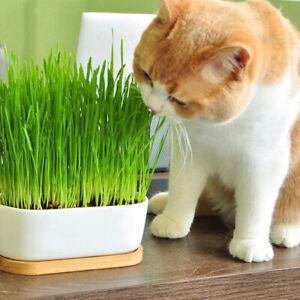 Am-BU-FP-ALS-100Pcs-Cat-Grass-Seeds-Garden-Organic-Perennial-Herb-Bonsai-Bal