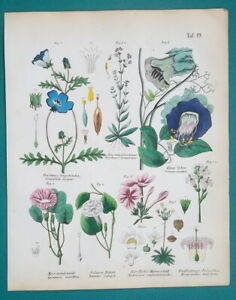 MEDICINAL-PLANTS-Blue-Eyes-Morning-Glory-Vine-Jasmine-1845-H-C-COLOR-Print