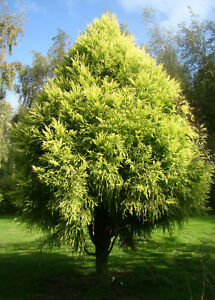 Japanese-Cedar-CRYPTOMERIA-JAPONICA-evergreen-conifer-starter-plant-15cm