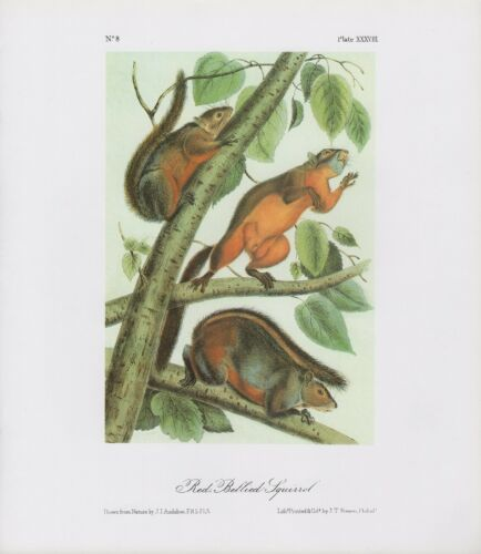 """1989 Vintage /""""RED BELLIED SQUIRREL/"""" A LOVELY AUDUBON MAMMAL COLOR Art Lithograph"""