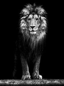 TOILE TABLEAUX    animal sauvage lion    50X70 CM