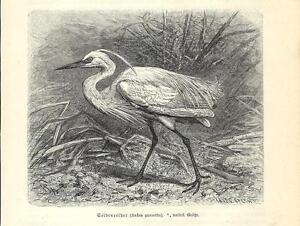 Livraison Rapide Stampa Antica Uccello Garzetta Intermedia Ardea Intermedia 1891 Antique Print