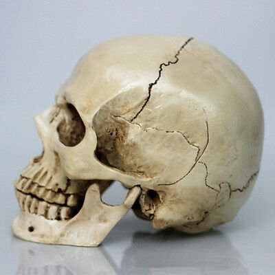 Homosapiens Skull Statue Figurine Human Shaped Skeleton Head Halloween Decor