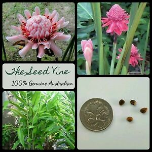 10-PINK-TORCH-GINGER-LILY-SEEDS-Etlingera-elatior-Tropical-Flower-Edible-Gift
