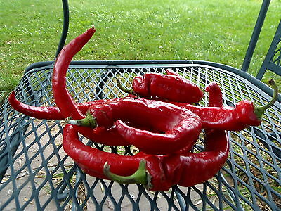 Maule's Red Hot Pepper - fast maturing hot pepper introduced in the early 1900's