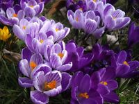 20 Giant Early Spring Crocus bulbs ~Moody Blues Mix~FALL PLANTING