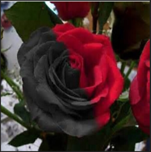 Rare Half Black And Red Rose Bonsai DIY Home Garden Flower NEW Q A 100 PCS Seeds
