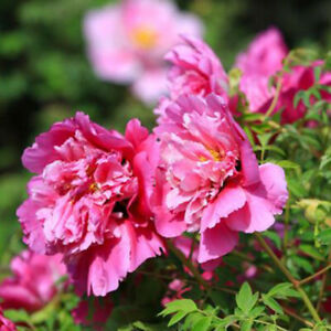 Am-BL-10Pcs-Peony-Seeds-Garden-Paeonia-Roof-Flower-Tree-Plant-Bonsai-Home-Deco