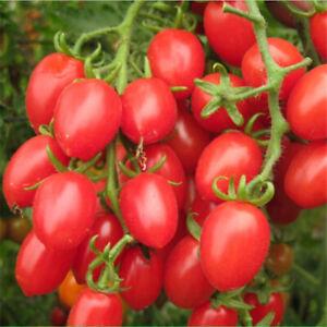 Graines-de-tomates-rouges-cerises-bio-fruits-et-legumes-semeWLFR