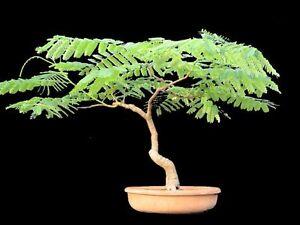 10 ACACIA INDOOR BONSAI SEEDS, GROW YOUR OWN INDOOR BONSAI TREE | eBay