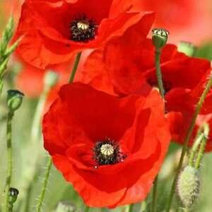 RED CORN POPPY SEEDS 1000+ PERENNIAL flower FLANDERS field POPPY Free Shipping