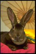485014 Apricot Rex Rabbit Freya A4 Photo Print