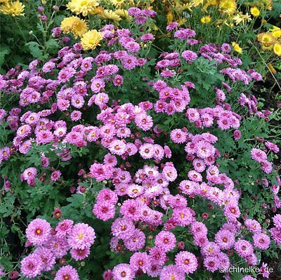 1 x Staude Pflanze Herbst - Chrysantheme ANASTASIA