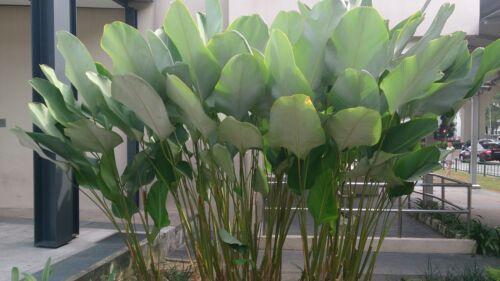1 RHIZOME Calathea lutea VERY RARE PLANT STUNN LEAF FRESH