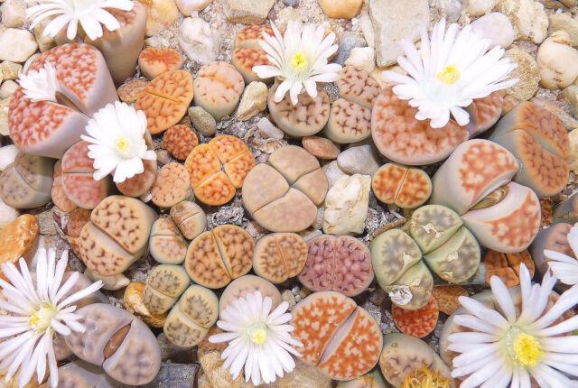 Lithops karasmontana mix 50 Seeds Rare Cactus Succulent Garden Plant Gift Flower