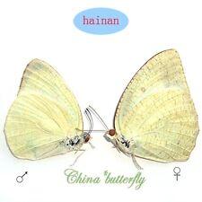 PAIR umounted butterfly Pieridae Catopsilia pyranthe chryseis Wet Season A1-