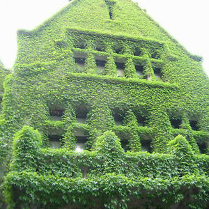 100 pcs ivy seeds requires little maintenance climbing for Plants that need little maintenance