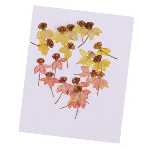 20 real presionado bailando-Muñeca Orquídea Flores secas de recortes Art Craft