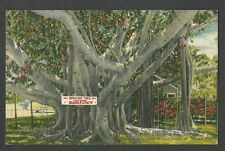 Ca 1940 PPC BANYAN TREE GIVEN BY EDISON TO FIRESTONE SARASOTA FL LINEN TYPE MINT