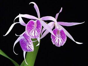 Orchid-species-garden-plant-seedling-Brassocattleya-Morning-Glory