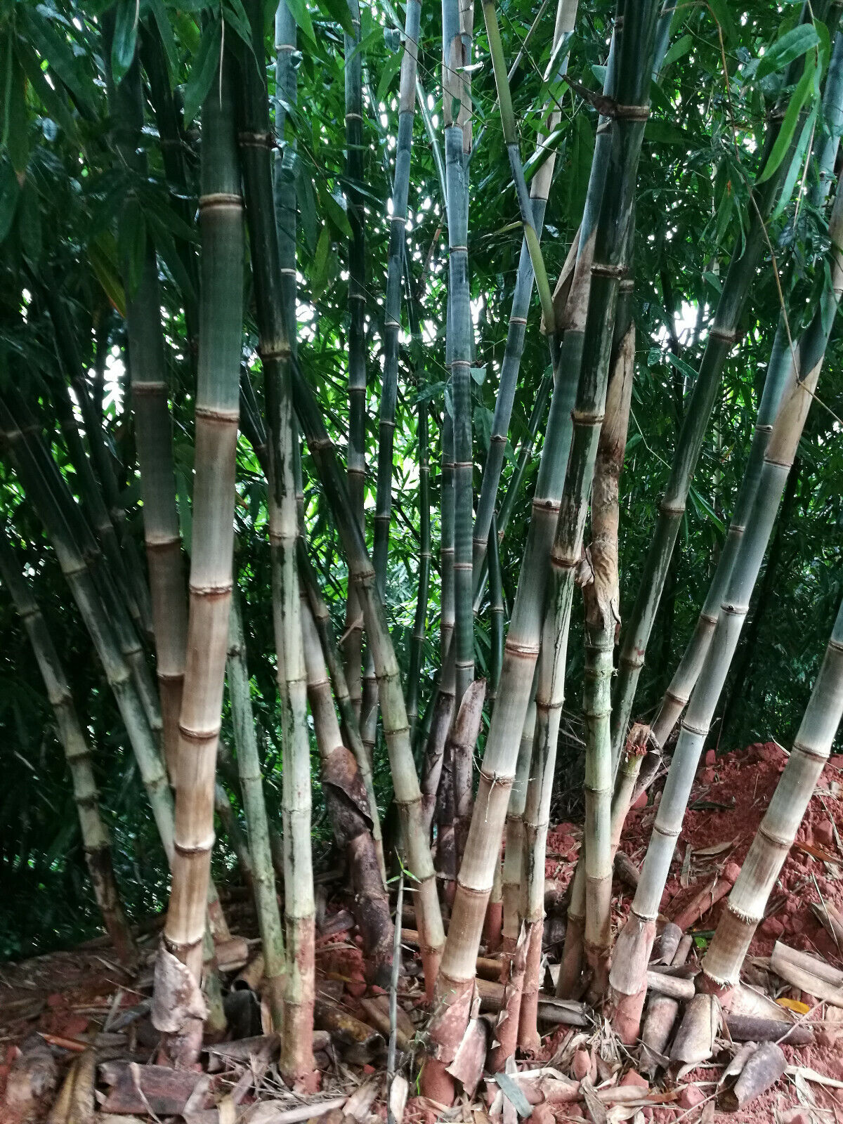50 Seeds - BAMBOO, PERFECT PRIVACY SCREEN - quick growth and winter hardy
