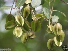 50 ARJUN TREE  SEEDS -#9021# Terminalia arjuna - Thella Maddi/Marudha Maram,