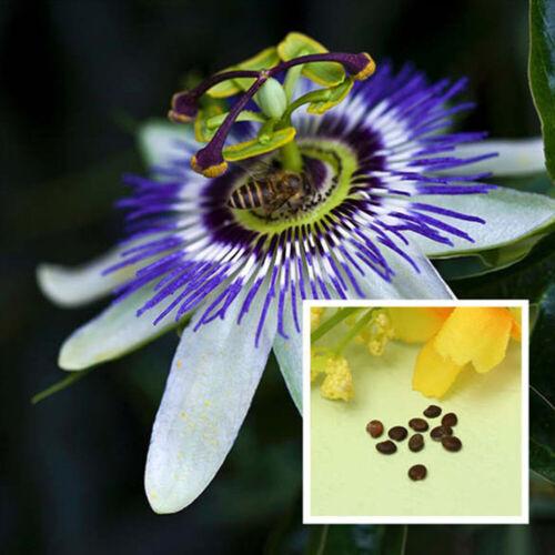 10pcs Tropical Exotic Passion Fruit Seeds Passiflora Edulis Germination Charm