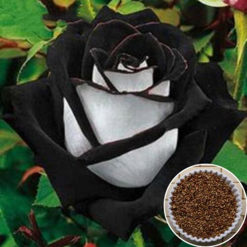 Rare 200 Stück Black /& White Rose Blumensamen Garten Pflanzendekor 100/% T Dekor