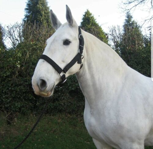 Extra Pleine Taille Forte Shire Projet Cheval Clydesdale Licou
