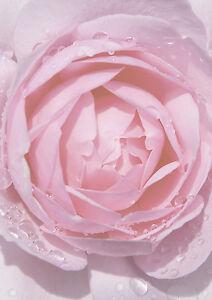 motivpapier briefpapier 50 blatt din a4 rosa rose einladung, Einladungen