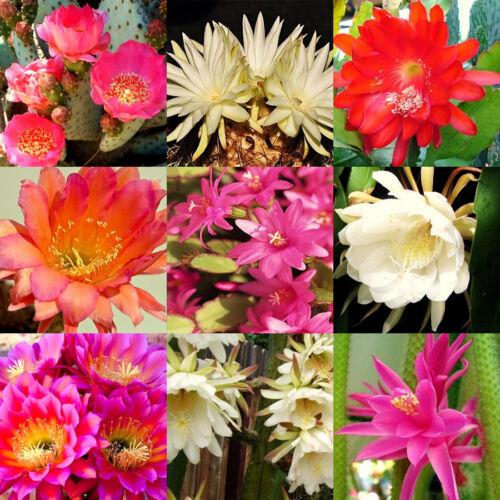 FRAGRANT CACTUS FLOWER MIX  rare garden cacti exotic desert succulent  200 seeds