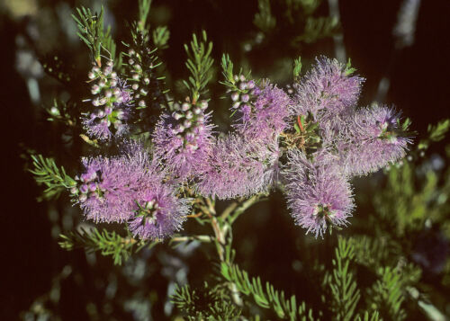 Mauve Honey Myrtle 200 Seeds Melaleuca glaberrima
