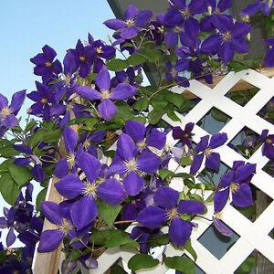 100stk-Clematis-Lila-Samen-Blumen-Kletterpflanze-Rankepflanze-Sichtschutz-S-D5F6