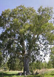 100-Semillas-de-Eucalyptus-Camaldulensis
