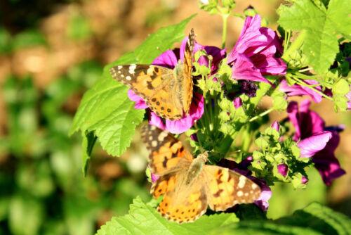 Wilde Malve Malva sylvestris für Blütentee ökologischer Anbau