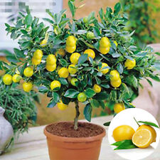10pcs Lemon Seeds Heirloom Garden Tree Fruit Indoor Outdoor Rare Organic Seed