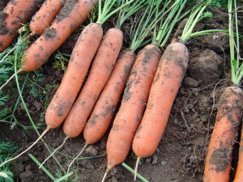 Légumes-grosses graines-photo paquet-carotte-marion F1-500 graines
