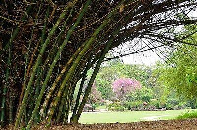 Amichevole Il Bellissimo Bedornte Gigante Bambù è Una Delle Più Belle Varietà Bambù!-mostra Il Titolo Originale