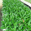 3-CULANTRO-Eryngium-foetidum-Thai-and-Vietnamese-parley-Ngo-Gai-live-Plant-USA thumbnail 4